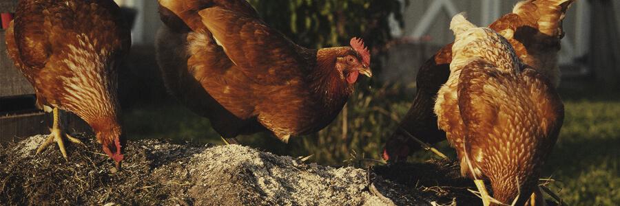 Chicken organic compost