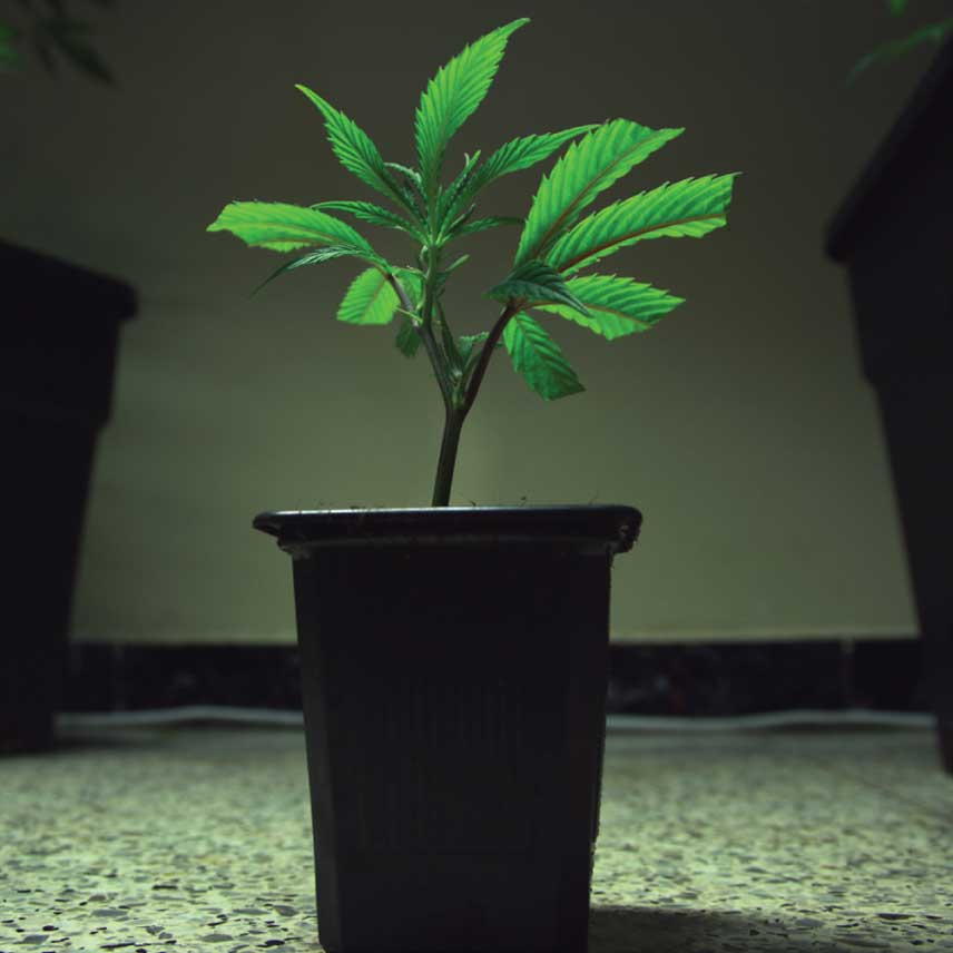 How to Get Clones from Your Cannabis Plants - RQS Blog