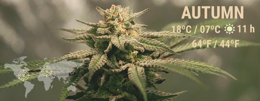 Autumn Cannabis
