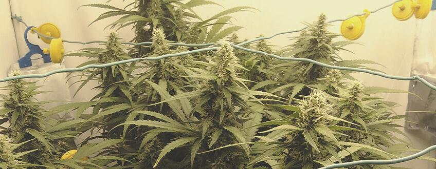 best marijuana seeds in the world