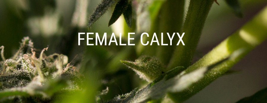 female calyx cannabis