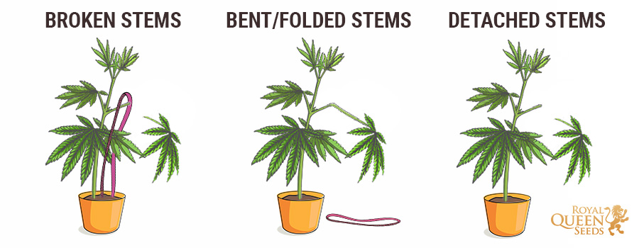 Cannabis Broken Stems (Types)