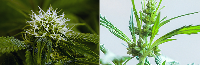 difference between male and female cannabis plants
