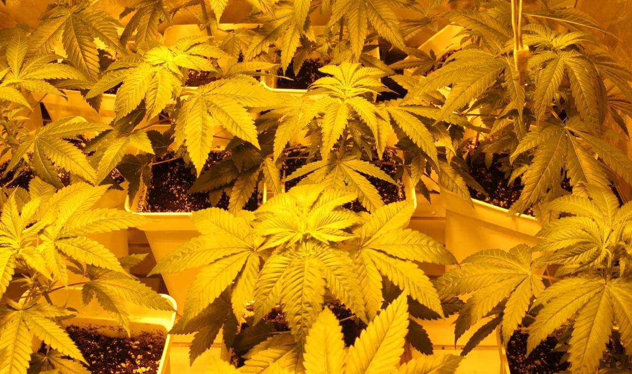 Growth and flowering of cannabis plants