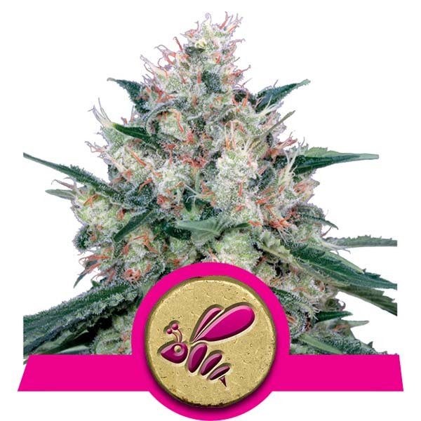 Honey Cream Royal Queen Seeds