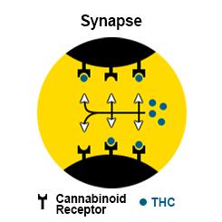 cannabis seeds high thc