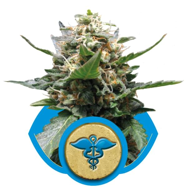 Royal Medic CBD Marijuana Strains
