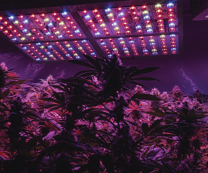 How to Provide UV Light to Indoor Cannabis Plants