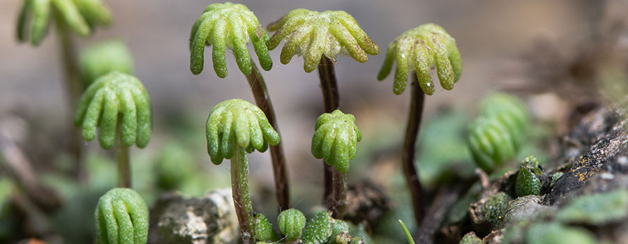 Plants Other Than Cannabis That Produce Cannabinoids - RQS Blog