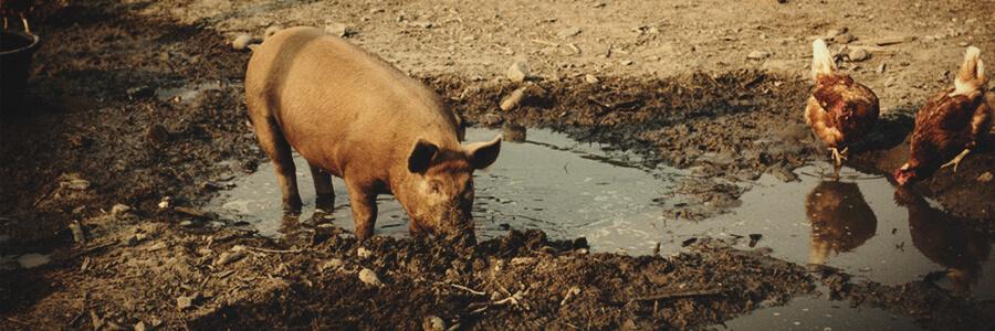 Pig organic compost