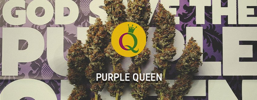 Purple Queen