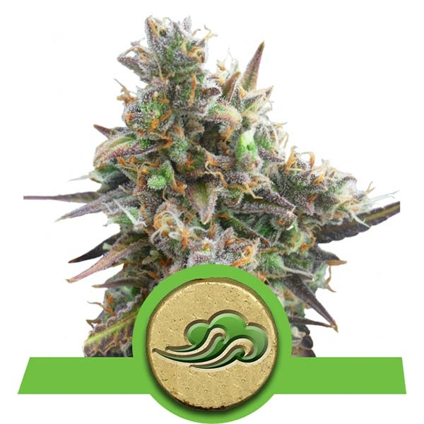 Royal Bluematic Royal Queen Seeds Autoflowering Strain