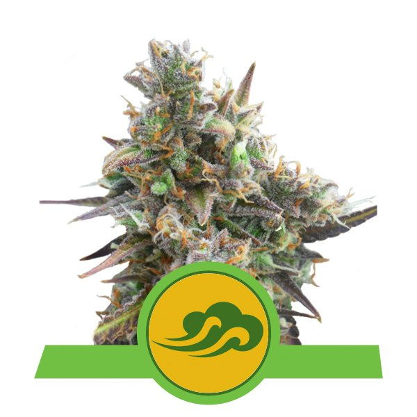 Buy Royal Bluematic Autoflowering Cannabis