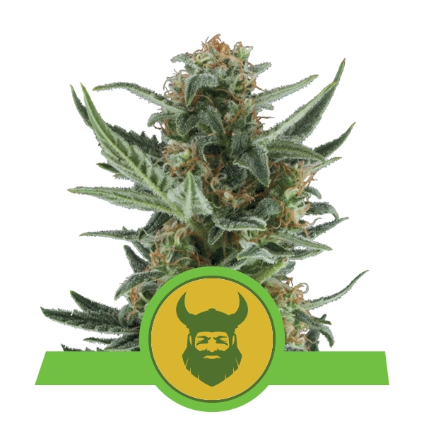 Royal Queen Seeds Royal Dwarf Cannabis Cup Winner