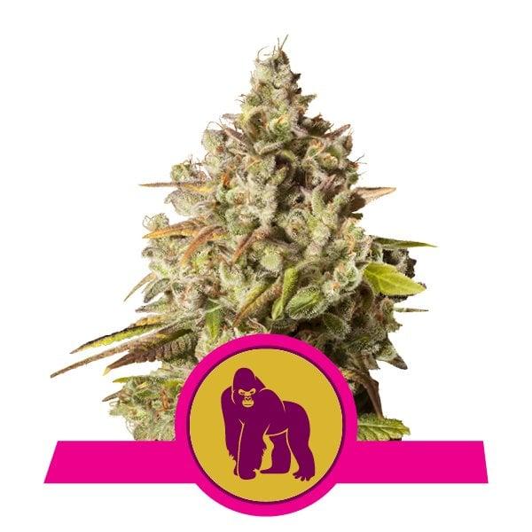 Royal Gorilla