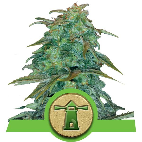 Royal Haze Automatic Royal Queen Seeds Autoflowering Strain