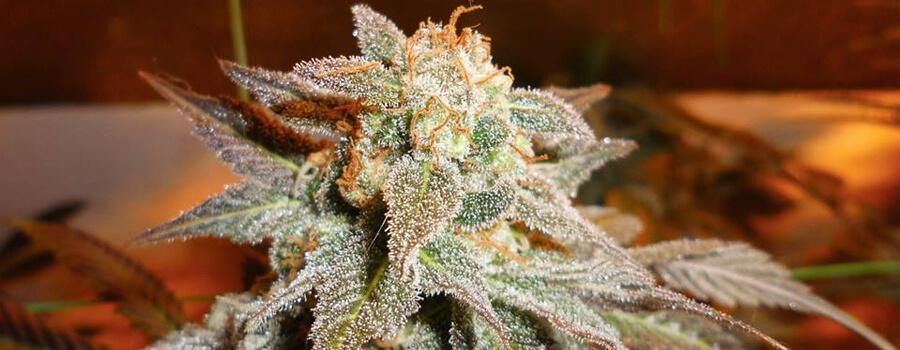 Royal Moby Cannabis Warmer Climates