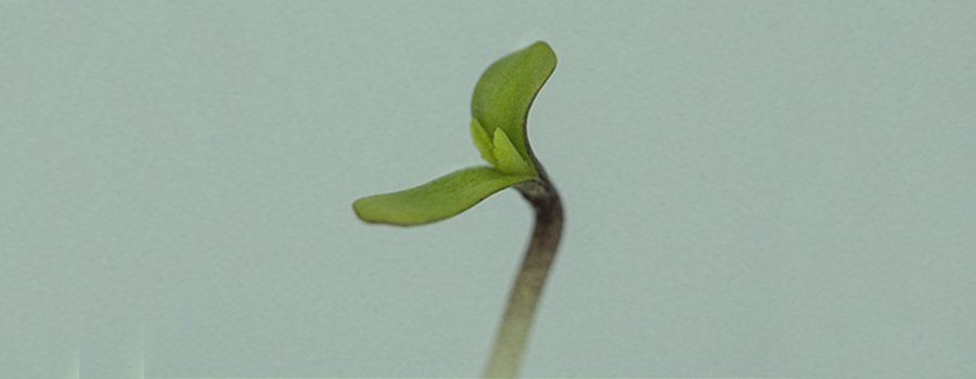Seedling Stage