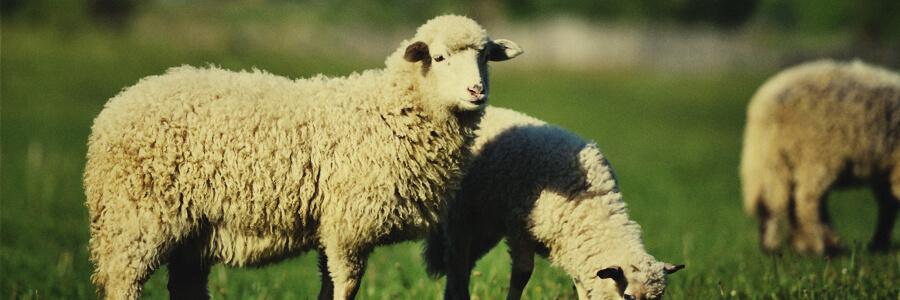 Sheep organic compost