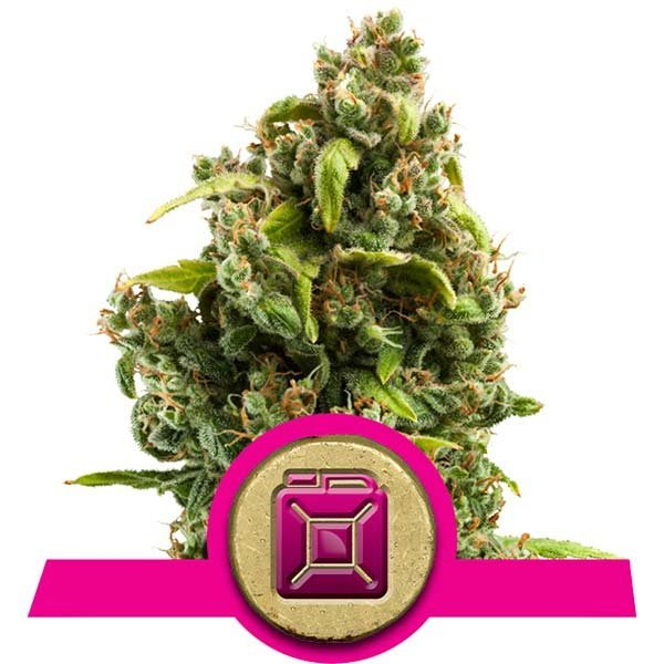 Sour Diesel Royal Queen Seeds
