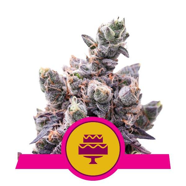 Wedding Gelato 🍦 Cannabis Seeds - Royal Queen Seeds