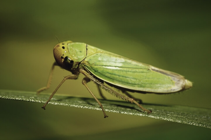 Getting Rid Of Cannabis Leafhoppers