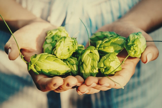CBD From Hops: Scientists Create New Hops Strain Rich In Cannabidiol