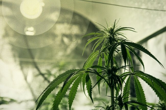 Cannabis Clones And Rooting Hormones - RQS Blog