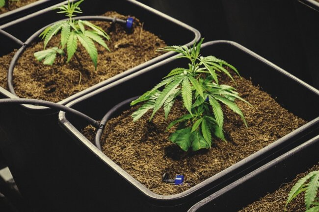 Fertigation Brings Precision To Cannabis Nutrient Application