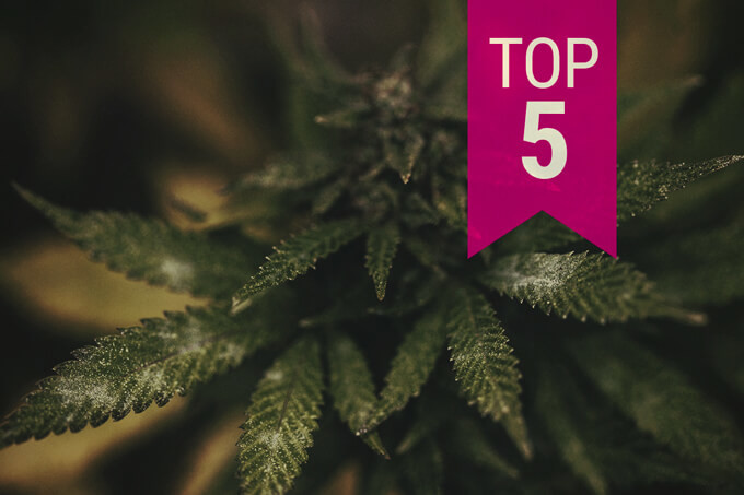 Top 5 Mould-Resistant Cannabis Strains