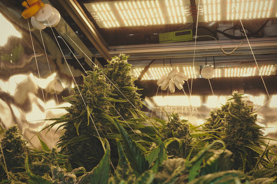 Five Ways To Support Heavy Buds On Indoor Weed Plants