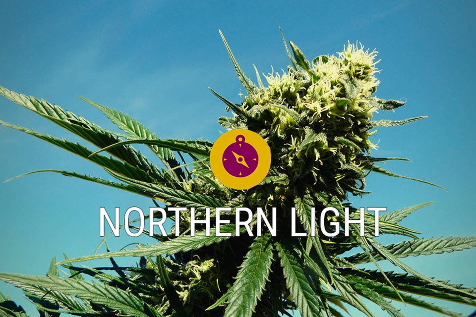 Northern Lights A classic cannabis strain