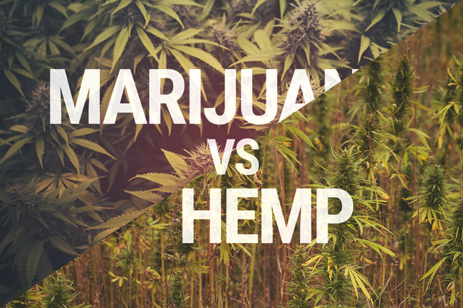 The Marijuana Vs. Hemp Debate: What's The Real Difference?