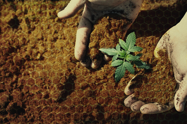 Using Honey In Cannabis Cultivation