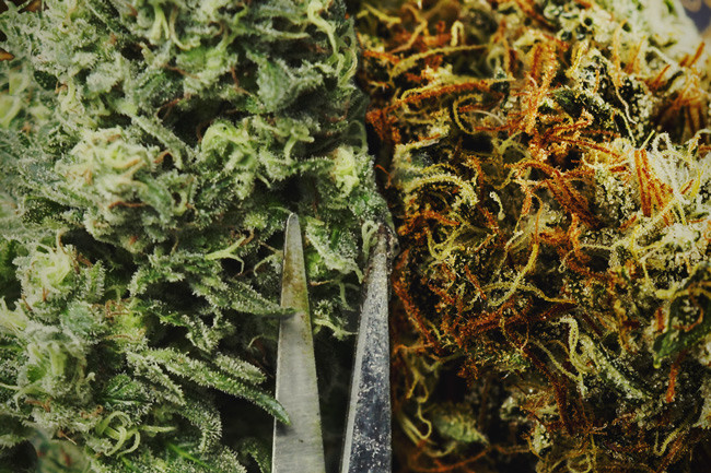 Should You Hand Trim Or Machine Trim Your Cannabis?