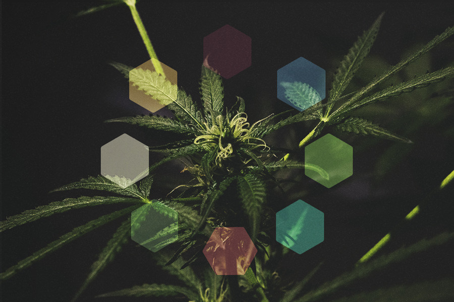 Are Whole Plant Extracts More Effective Than Single Cannabinoids?