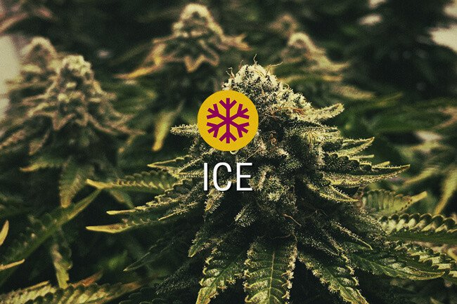 ICE Feminized cannabis seeds