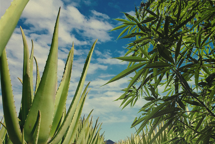 Start Using Aloe Vera To Protect And Nourish Your Cannabis Crop