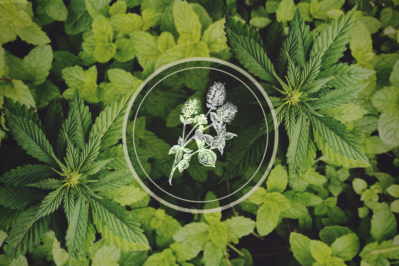 Peppermint In Your Cannabis Garden: The Benefits Of Companion Planting