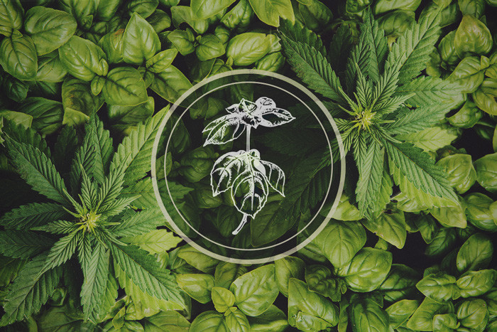 Basil: A Classic Food Ingredient And Cannabis Companion Plant