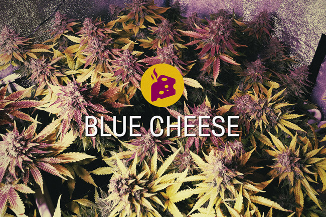 Blue Cheese Feminized Marijuana Seeds