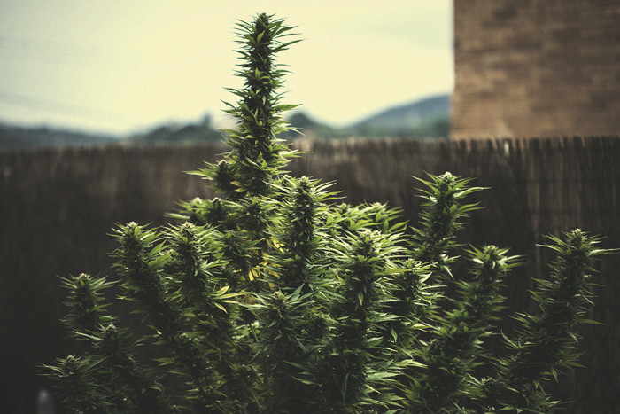 How Much Weed Can You Really Produce Per Plant?