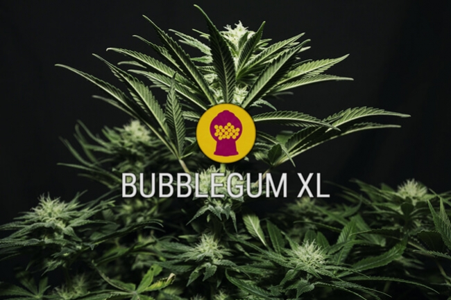 Bubblegum XL Feminized Cannabis Seeds