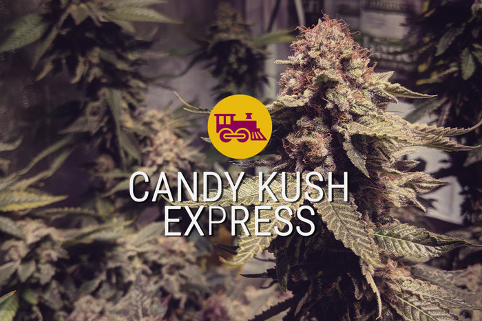 Candy Kush Express Feminized Cannabis Seeds