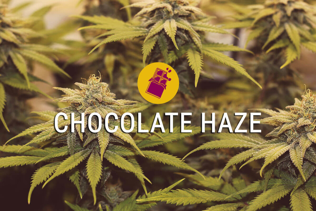 Chocolate Haze: Experience The Sweet Life