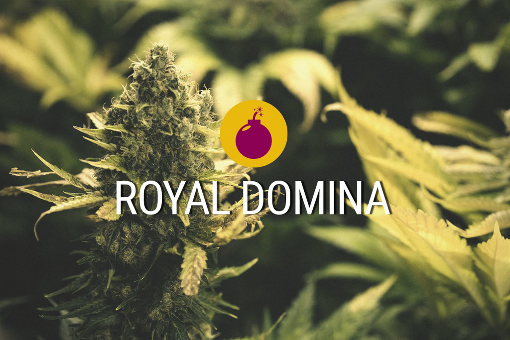 Royal Domina: A Hard-Hitting Indica Fit For Royalty