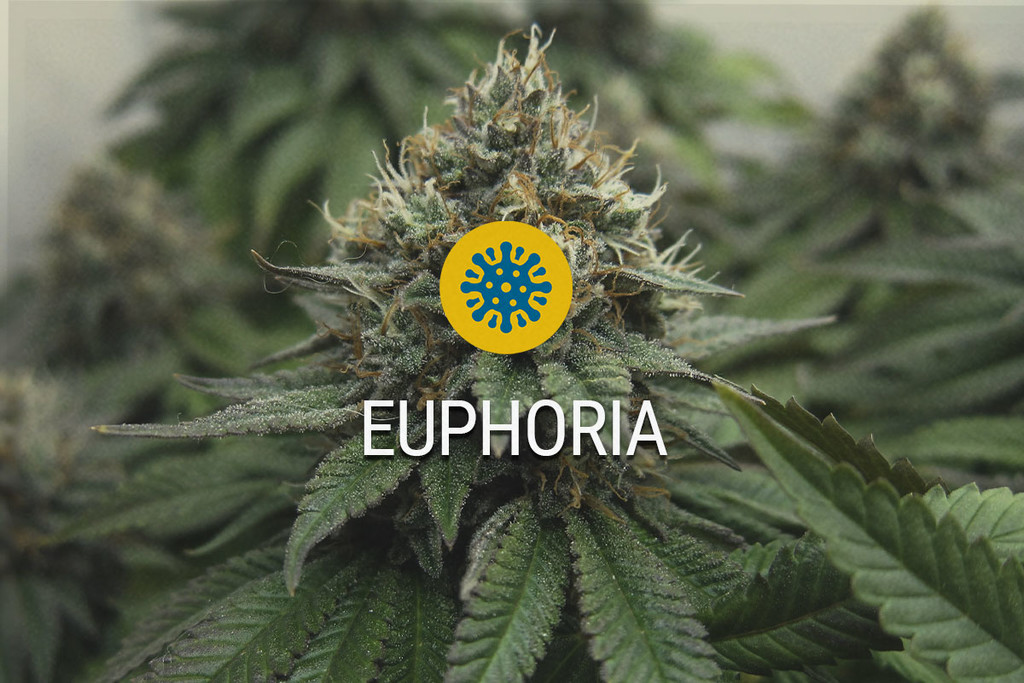 Euphoria Medical Marijuana Seeds
