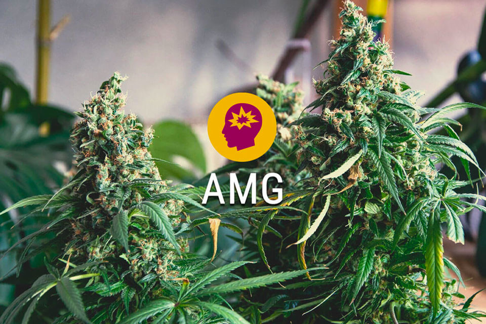 AMG (Amnesia Mac Ganja): Fuel Your Brain
