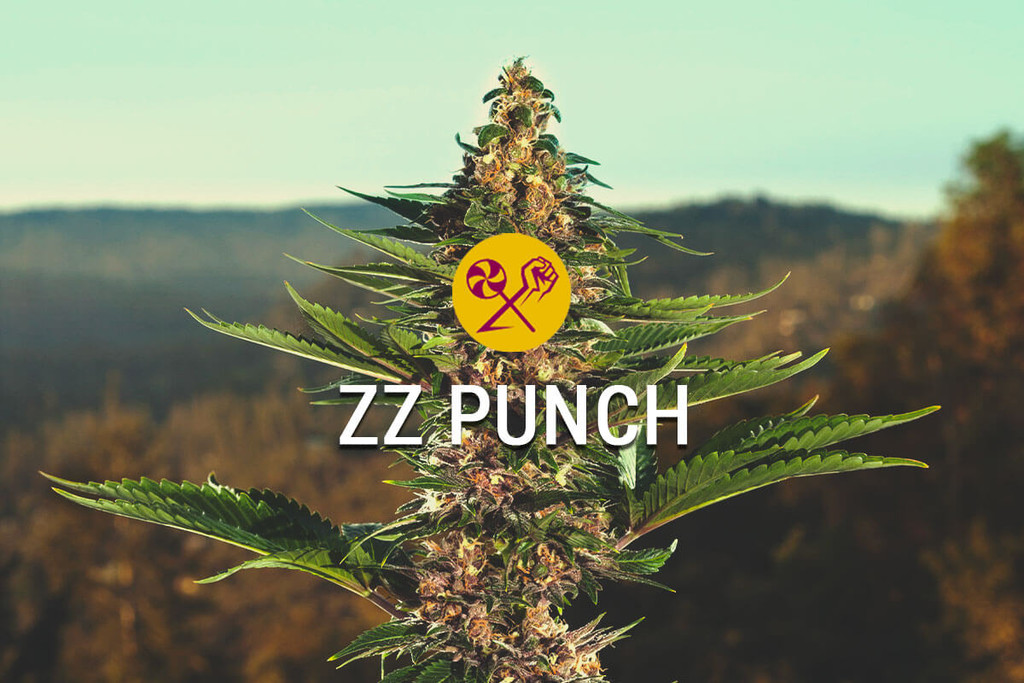 ZZ Punch By RQS x Zamnesia: A Match Made In Cannabis Heaven