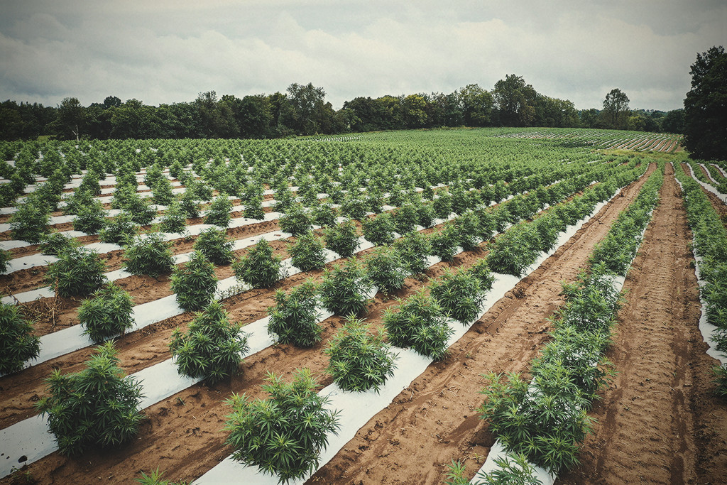 Can Cannabis Support Regenerative Agriculture?